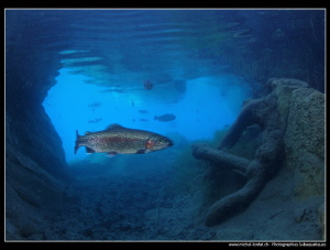 Trout in a mountain lake... :O)... by Michel Lonfat 